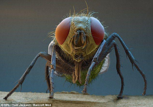Incredible Pics Thread-bluebottle-fly.jpg