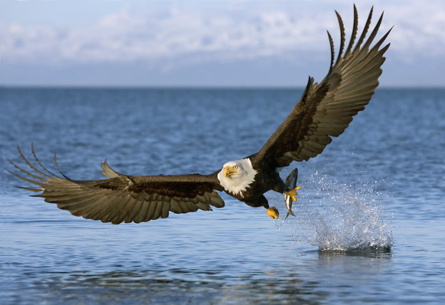 Happy Thanksgiving-bald-eagle-bird.jpg