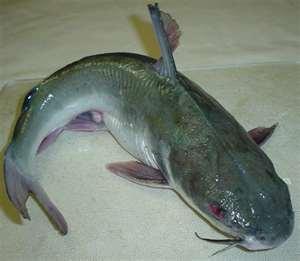 Today [9]-thumbnail-catfish.jpg