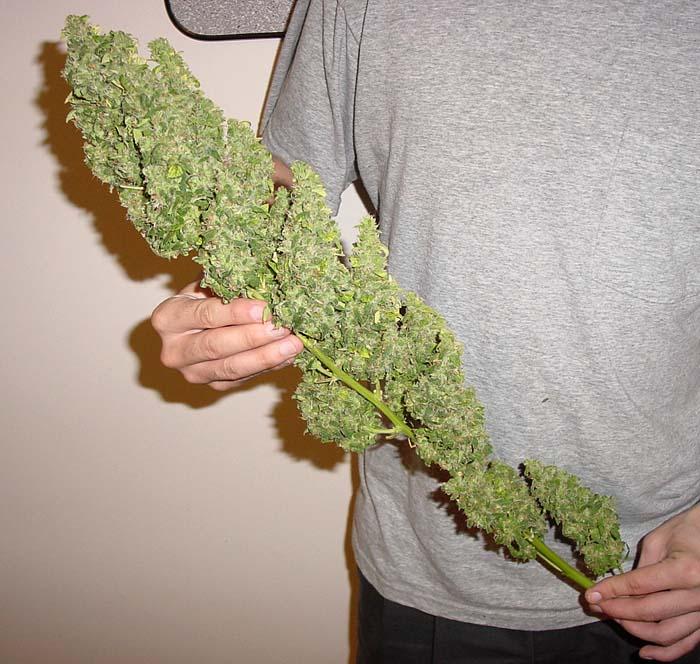 Serious Sleeping Problem-huge-bud-marijuana-300257_700_664.jpg