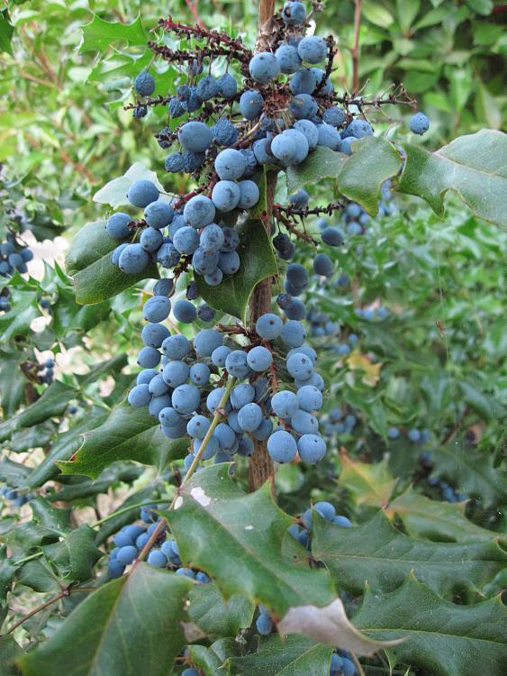 -oregon-grape-1.jpg