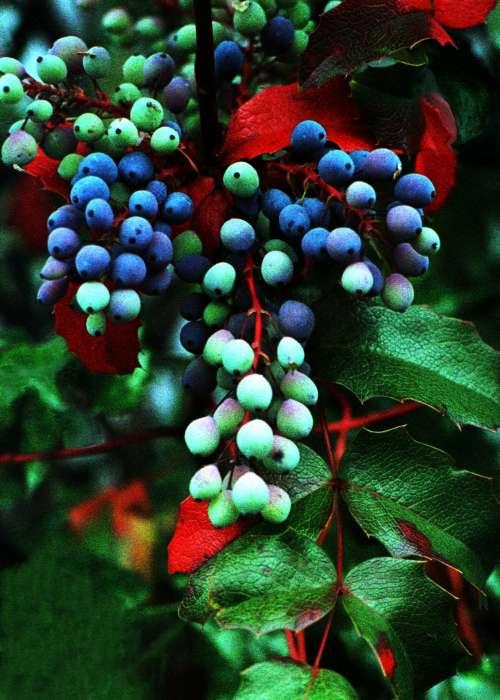 -oregon_grape.jpg