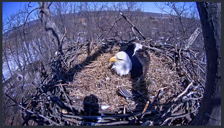 Live Bald Eagle Nest Cam-eagle1pm.png
