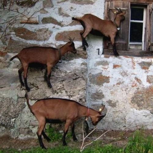 Today [15]-goat-walks-wal.jpg