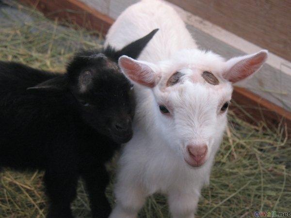 Today [15]-sweet-goats.jpg