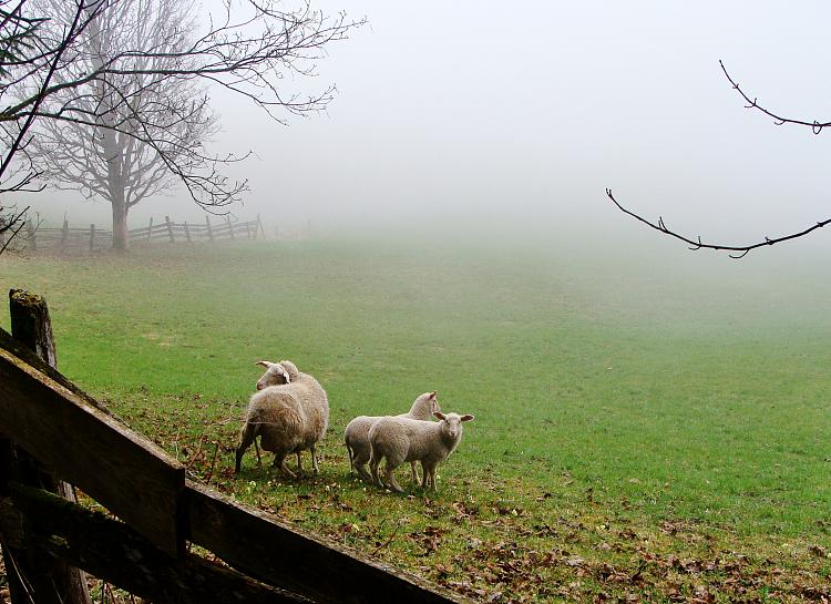 Today [15]-sheep-mist-april-2016.jpg