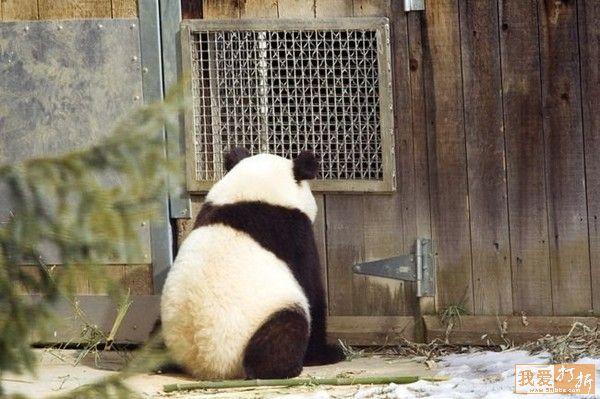 Reputation and Badges [3]-panda3.jpg