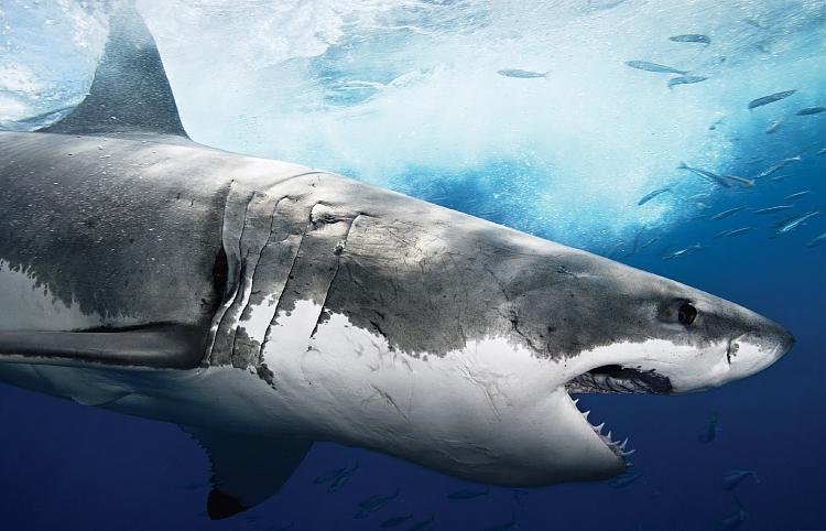 Custom Made Sig and Avatar [11]-shark-wallpapers.jpg