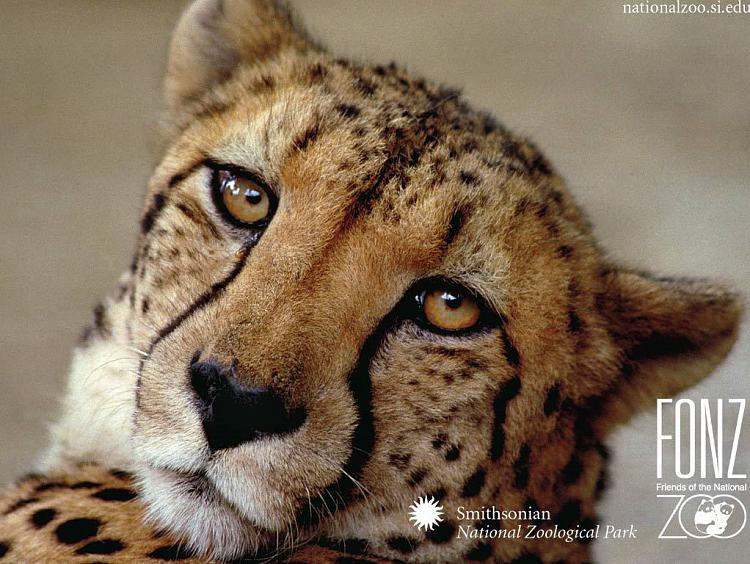 Custom Windows 7 Wallpapers [continued]-cheetah.jpg